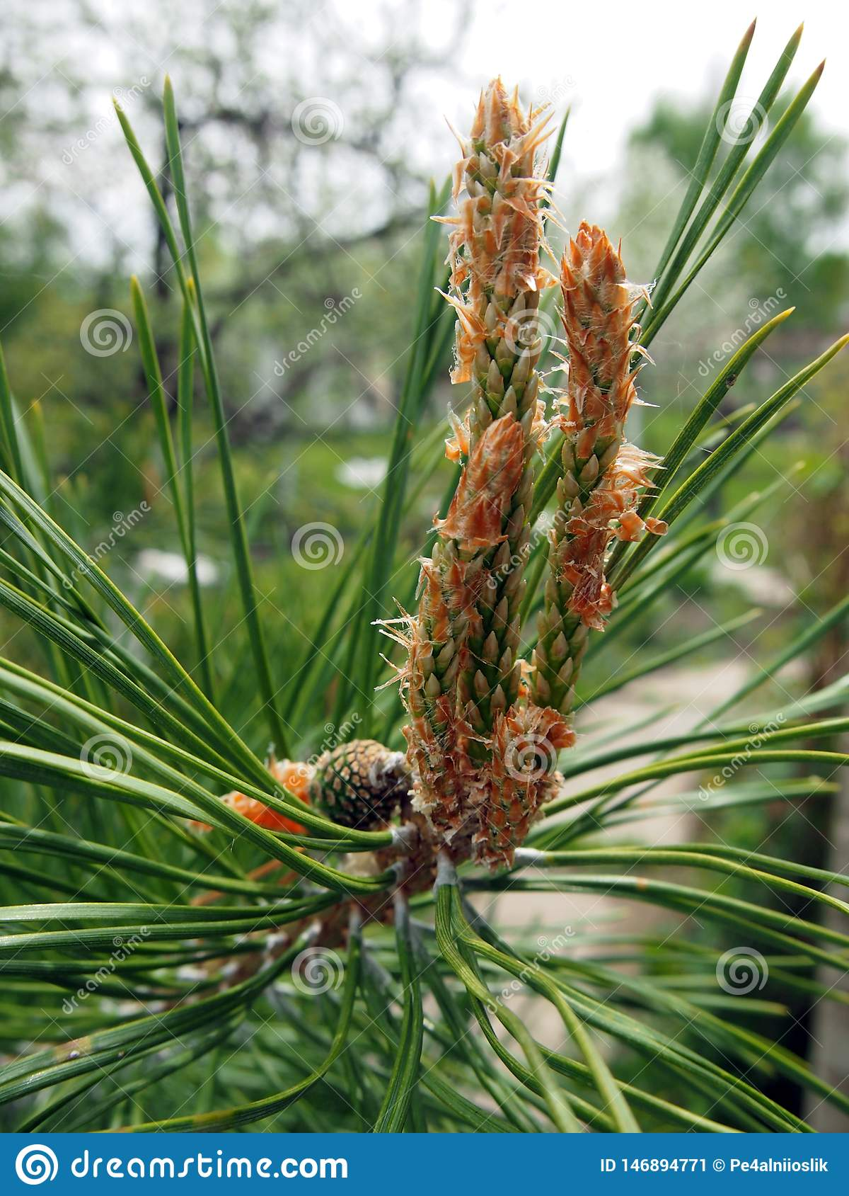 Un nuovo seme ? comparso sul ramo del pino
