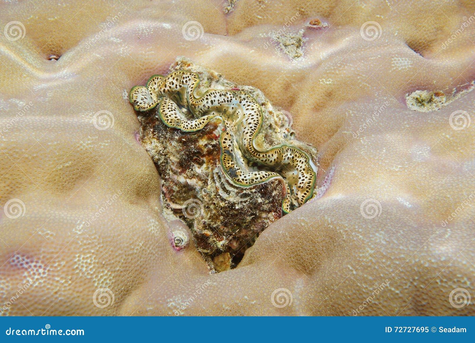 Un Océano Pacífico del molusco bivalvo de la almeja marina de los máximos