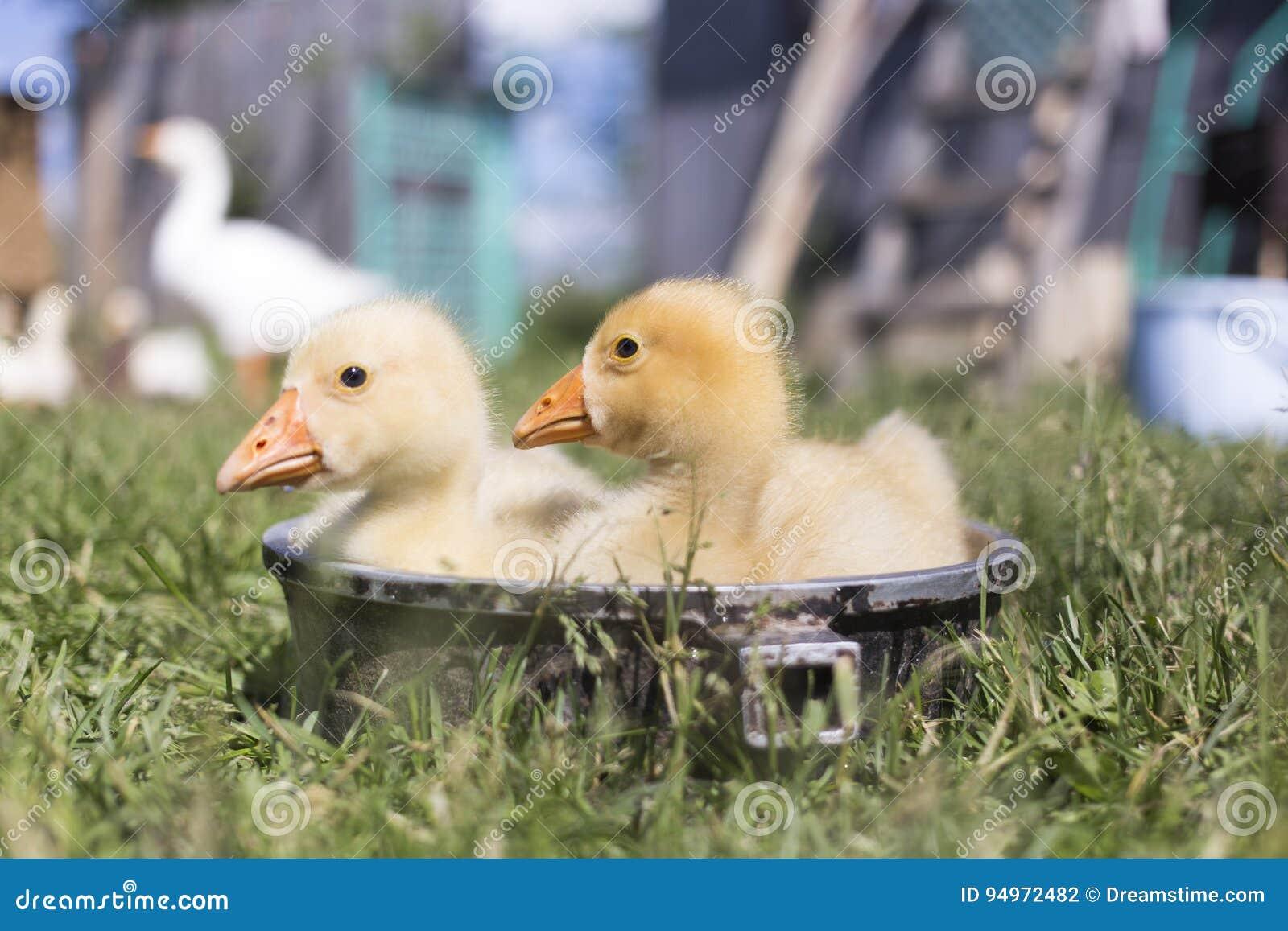 Un oca di due giovani bagna in una ciotola in buon tempo di estate