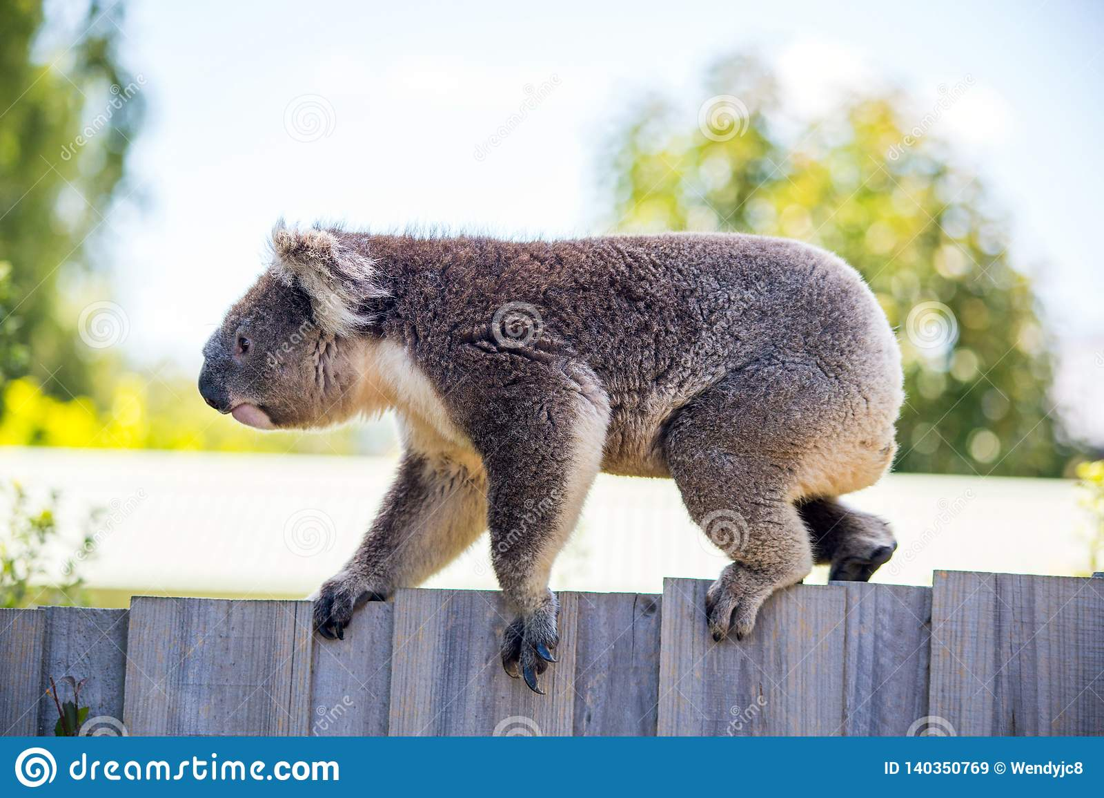 Un orso di koala che cammina lungo un recinto