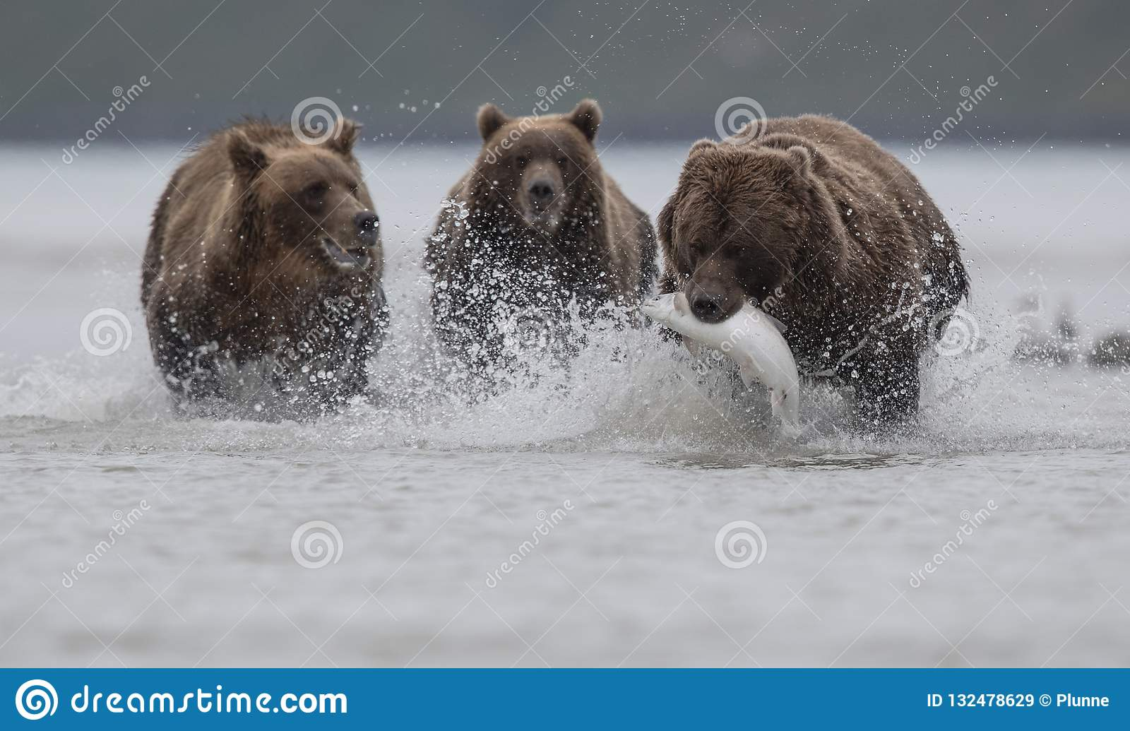 Un oso grizzly que lleva a un Salomon, perseguido por dos osos grizzly, en Katmai