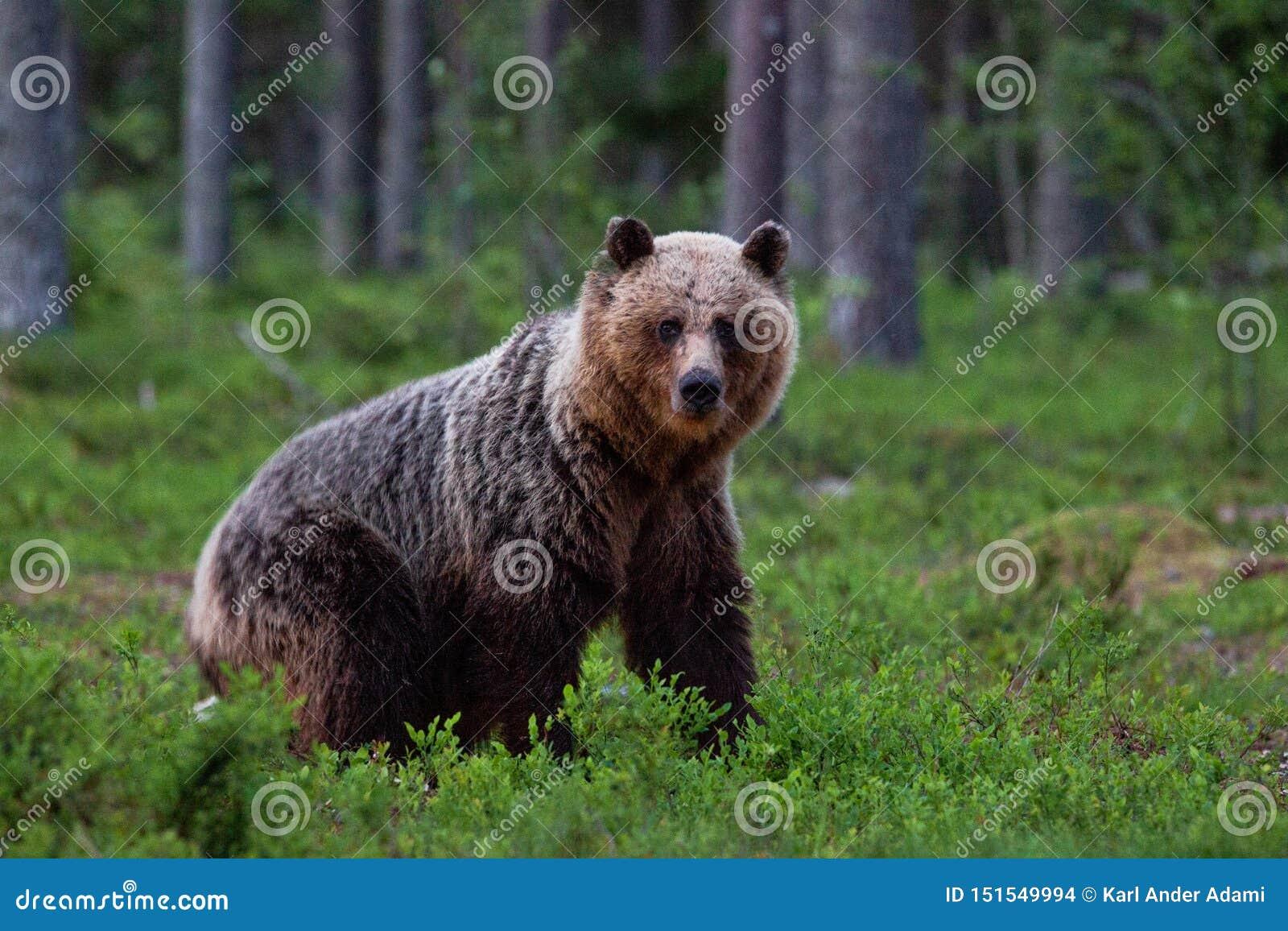 Un ours de Brown curieux ayant un contact visuel