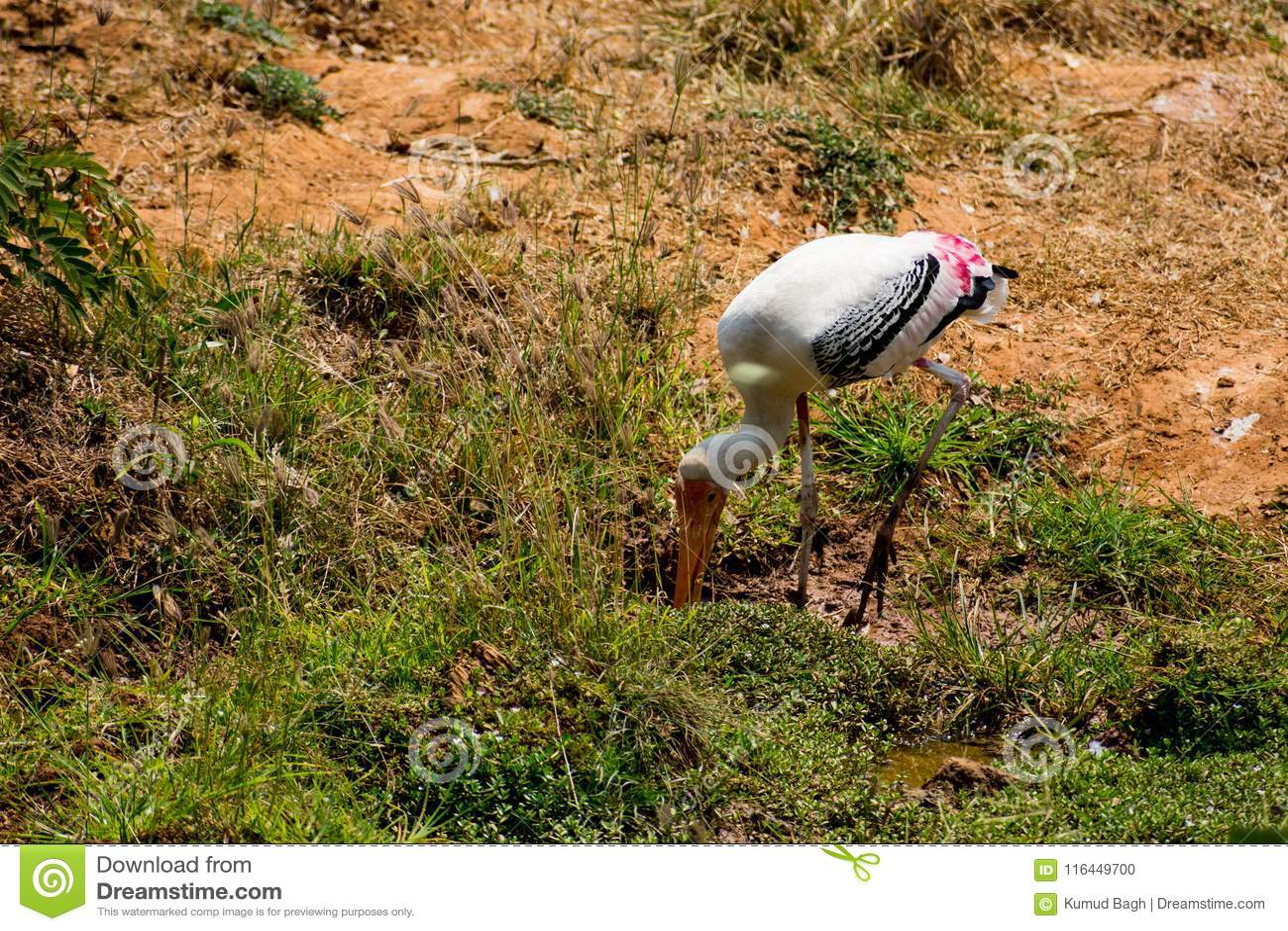 Un pájaro pintado blanco de las cigüeñas que camina en la opinión del cierre del parque zoológico que parece impresionante