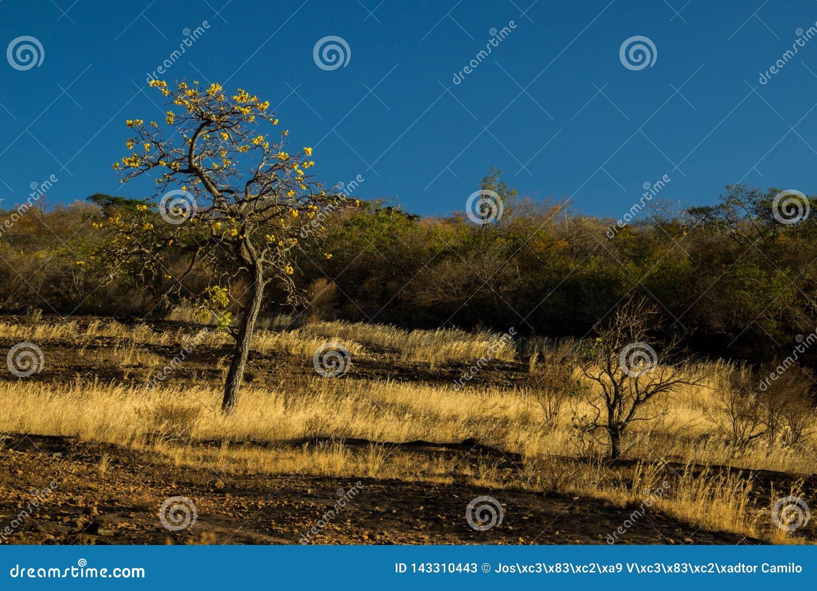 Un paesaggio tipico di Cerrado, in cui gli alberi torti sono uno dei pochi superstiti durante i periodi di siccità