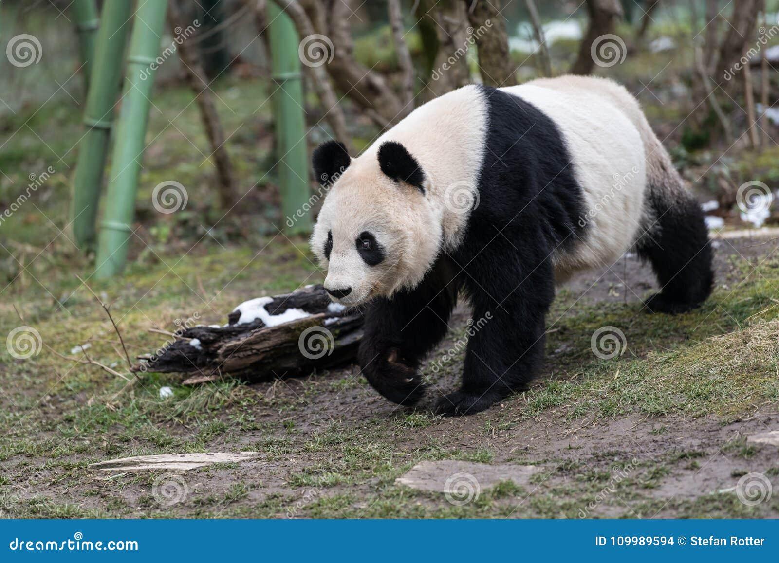 Un panda gigante femminile che cammina in uno zoo