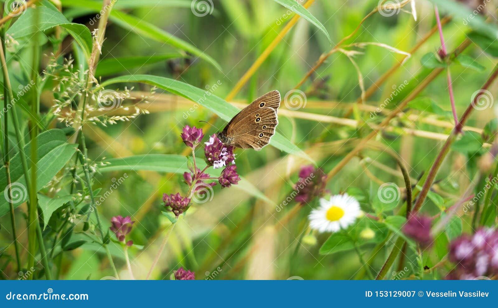 Un papillon brun très occupé dans les fleurs sauvages