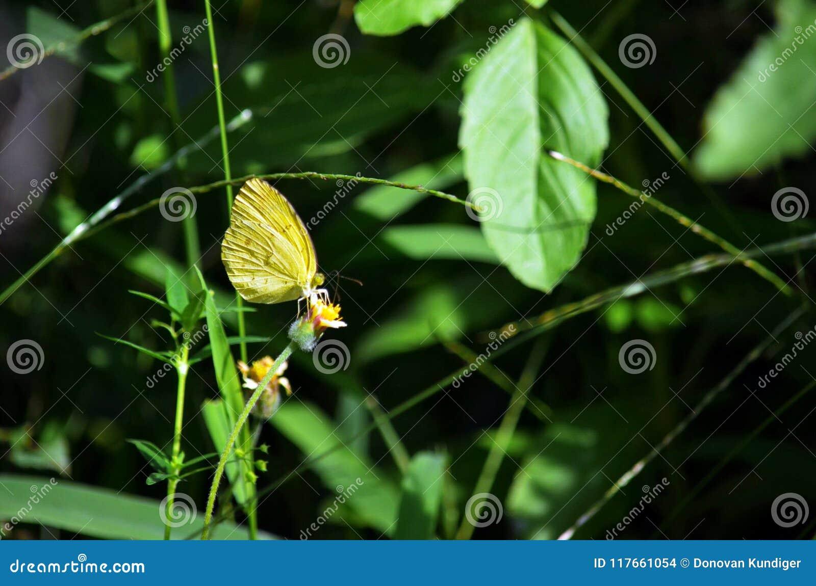 Un papillon jaune d herbe extrayant le nectar à partir d une fleur de mauvaise herbe de Shaggy Soldier dans la jungle