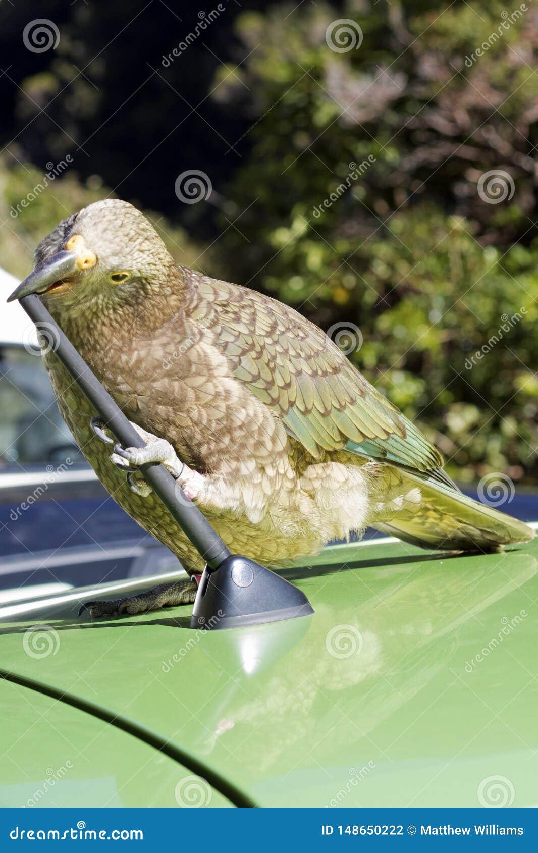 Un pappagallo impertinente della montagna fa un spuntino su un automobile