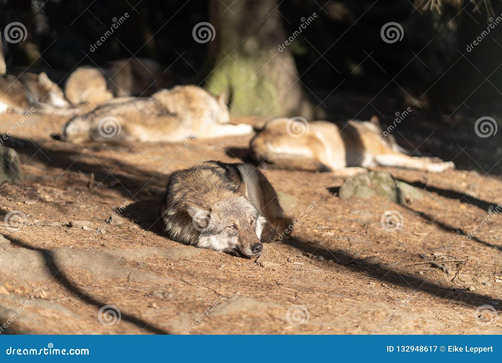Un Paquete De Lobos Salvajes Está Durmiendo En El Sol Un Lobo En El