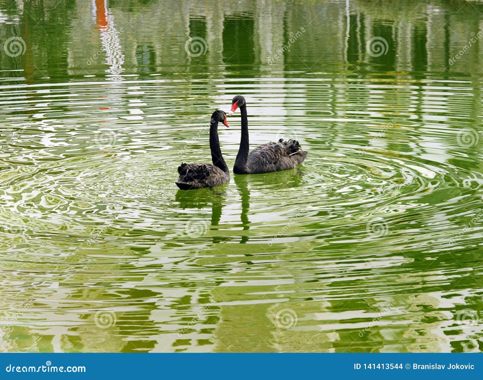 Un par de cisnes negros