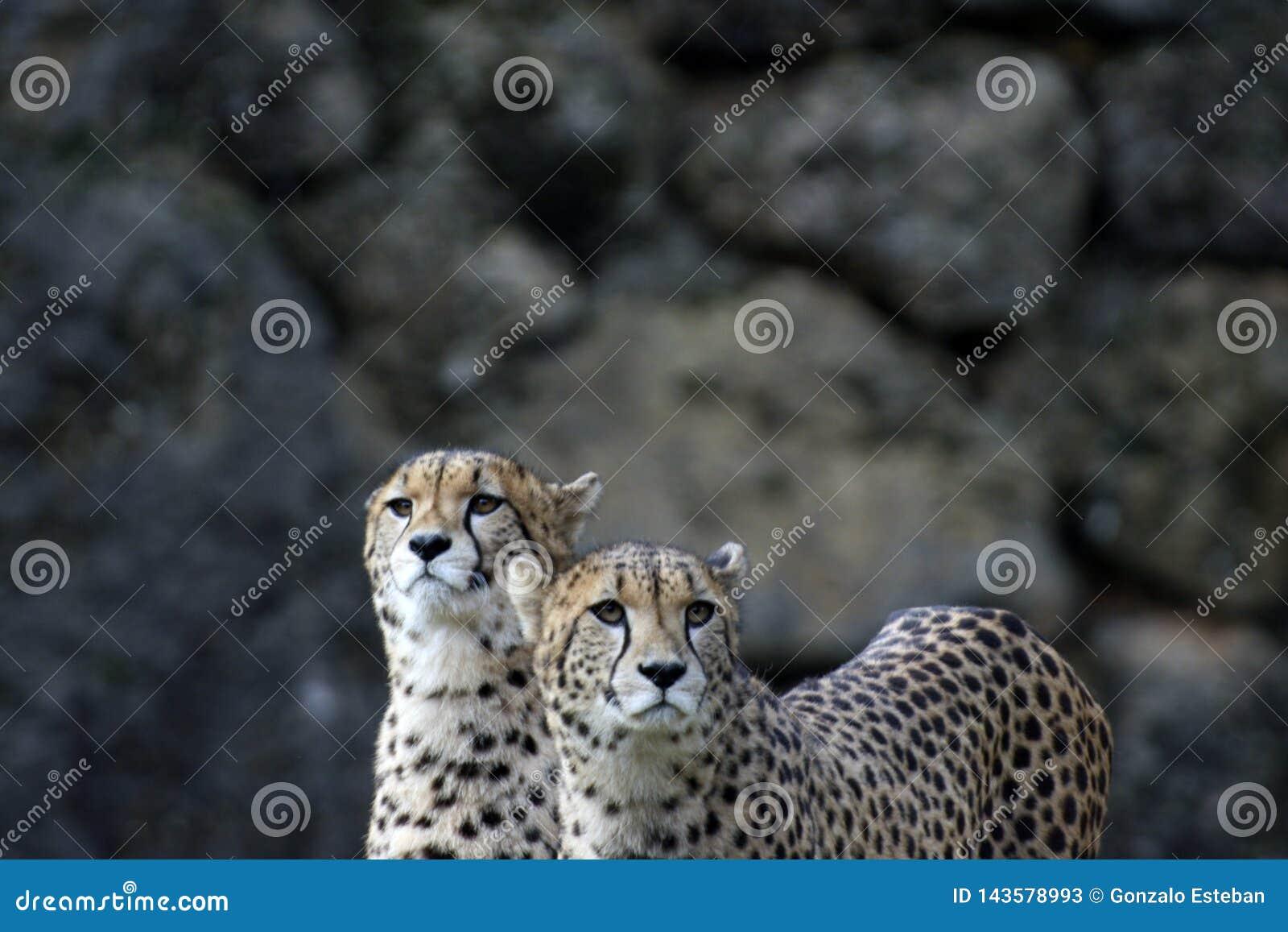 Un par de guepardos en el parque