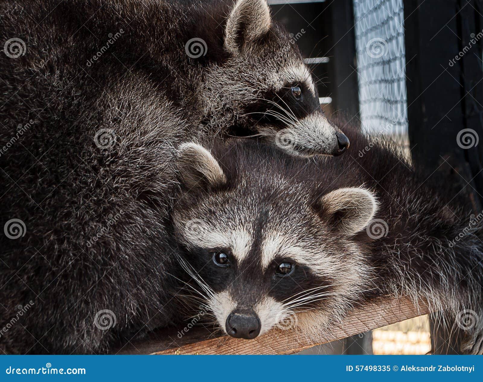 Un par de mapaches fotografió el abrazo cerca