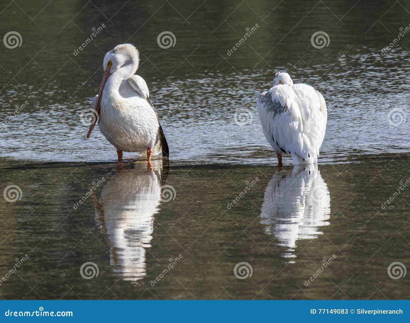 Un par de pelícanos