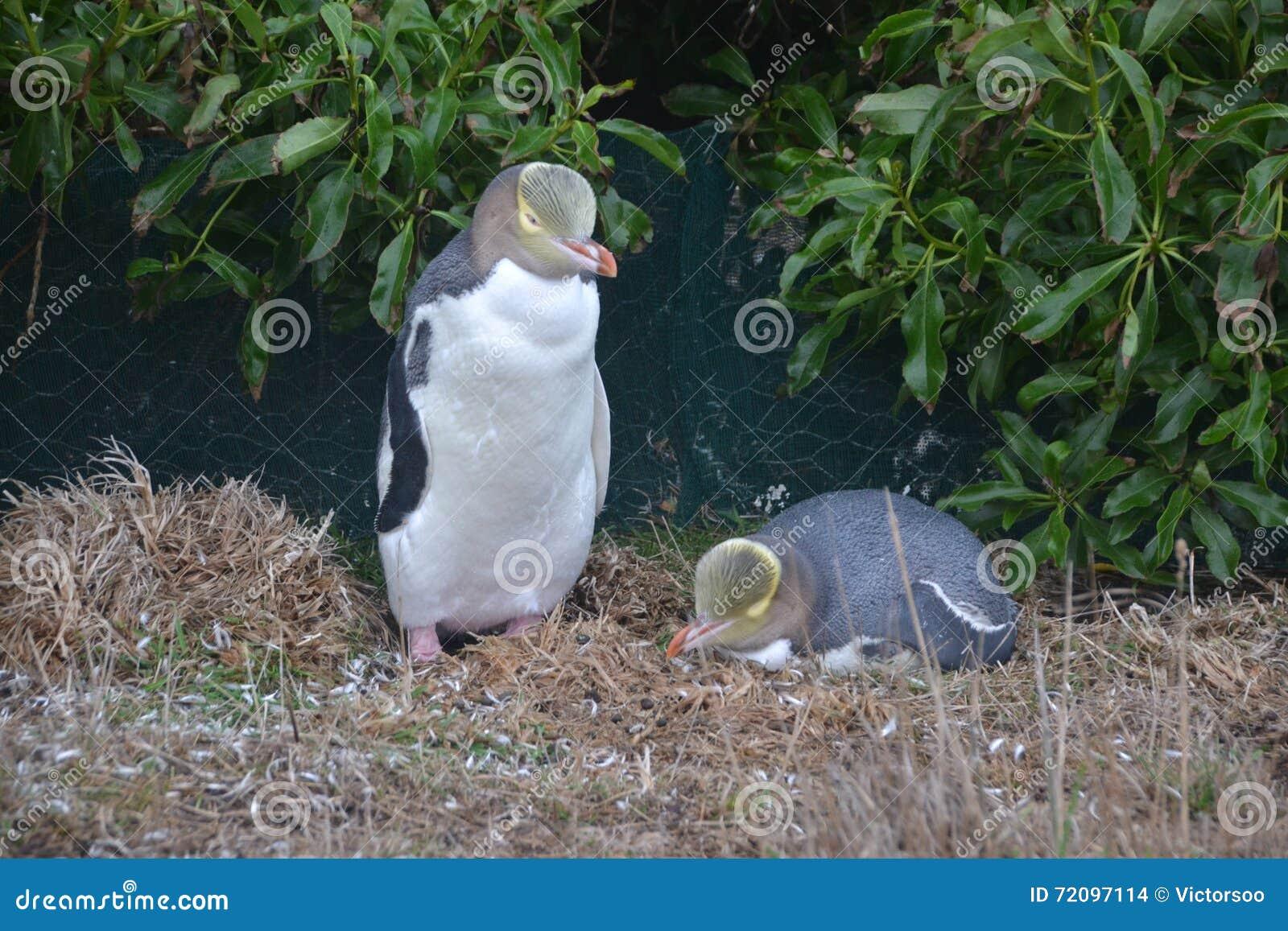 Un par de pingüinos amarillo-observados