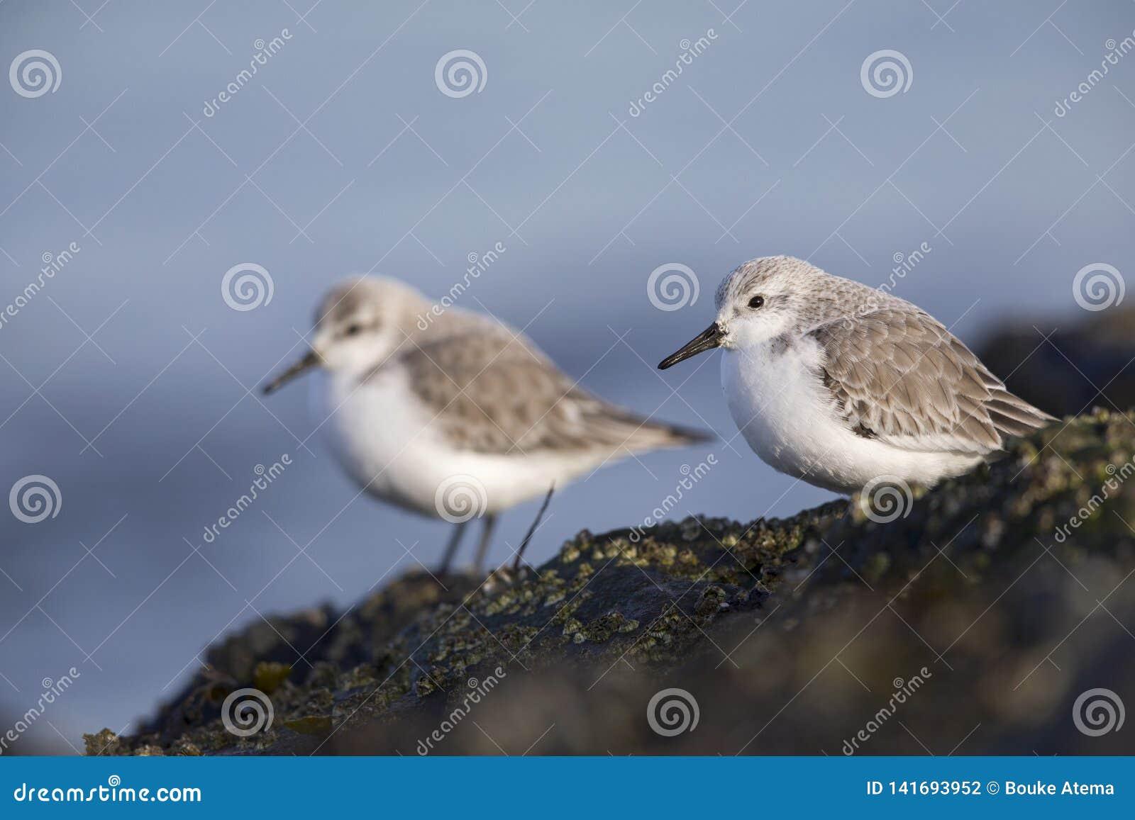 Un par de sanderling encaramado en una roca a lo largo de la costa holandesa en el invierno en el Mar del Norte