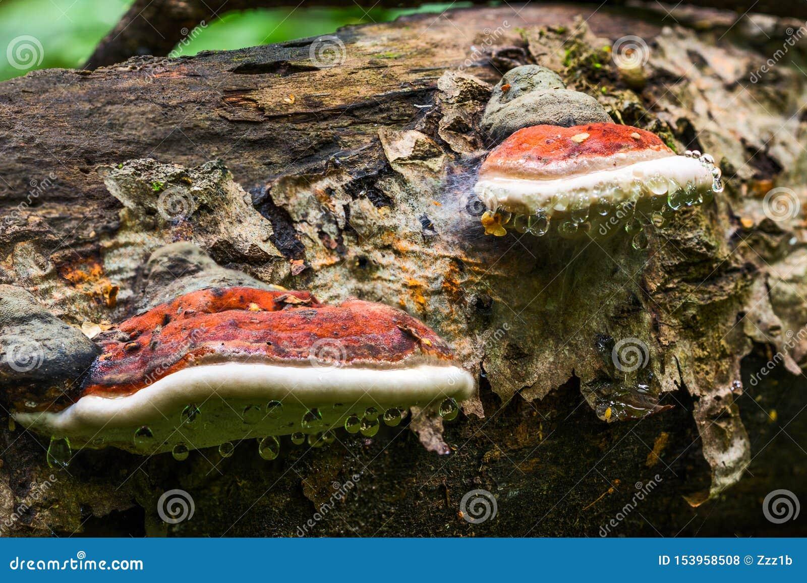 Un par del hongo de soporte Ganoderma Applanatum en tronco de árbol del deat con descensos principales del agua Primer con el foc