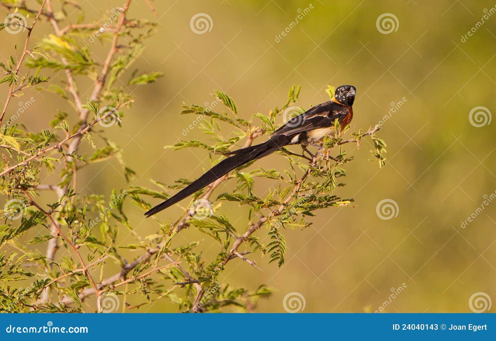 Un paradis oriental Wydhah dans le plumage d élevage