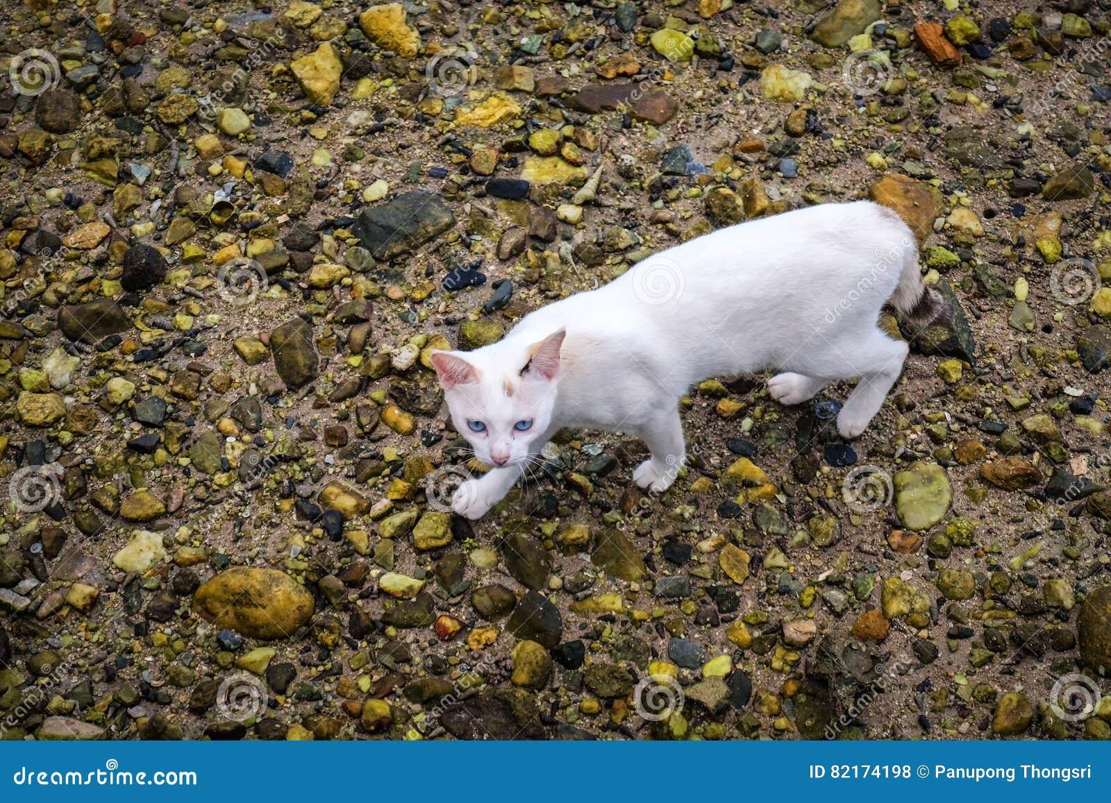 Un paseo de gato blanco en la tierra de la roca