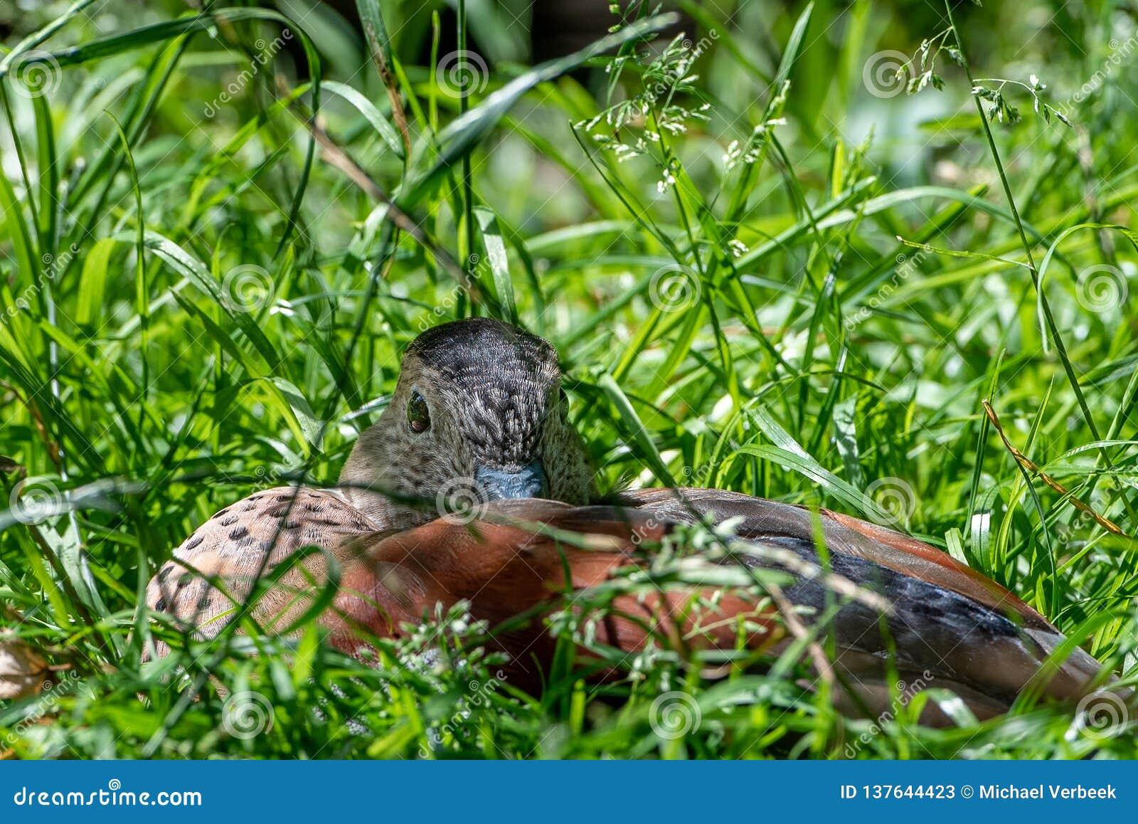 Un pato ocultado en la hierba