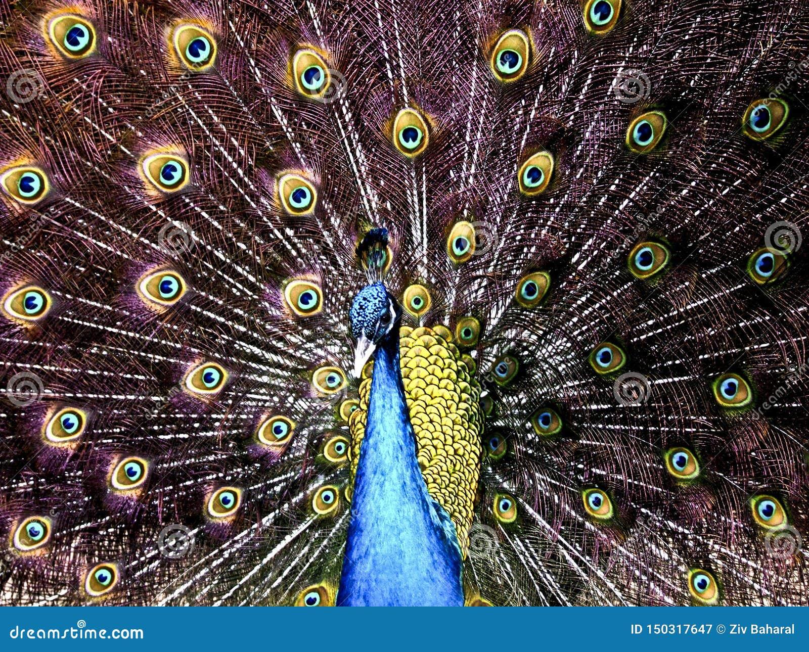 Un pavo real levanta orgulloso sus plumas