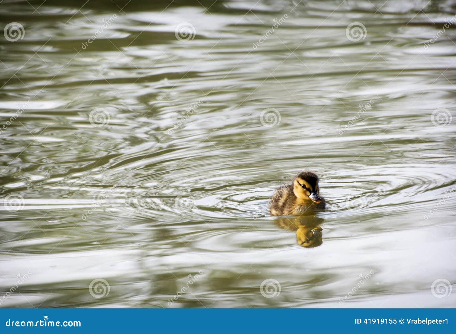 Un pequeño anadón del pato silvestre en el agua