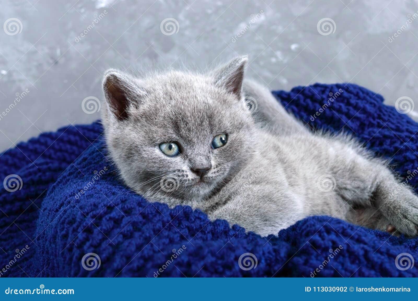 Un pequeño gatito recto escocés gris en una cesta Gatito feliz que mira de cerca