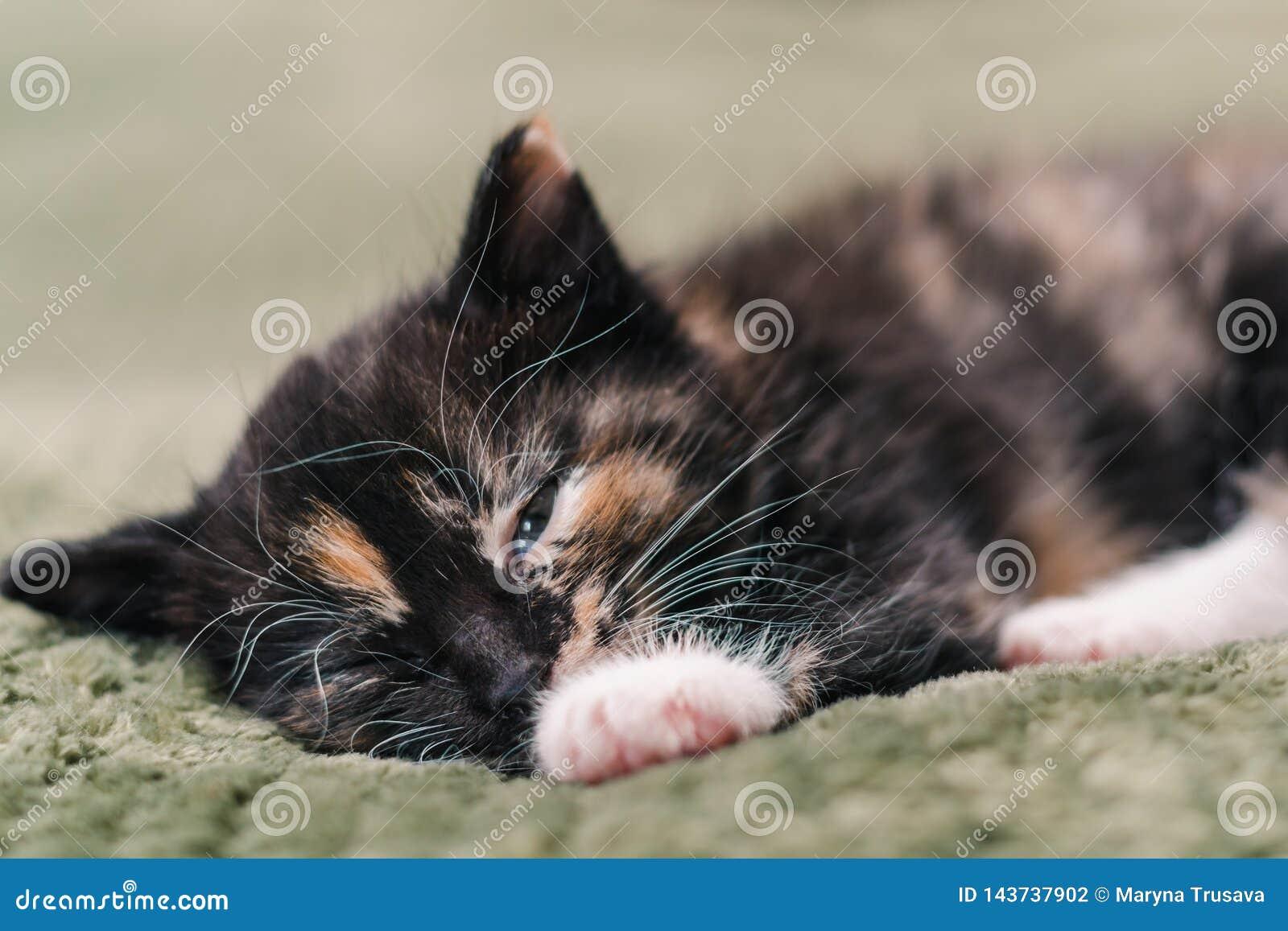 Un pequeño gato negro hermoso con los puntos blancos y rojos y los ojos azules está durmiendo en una tela escocesa verde
