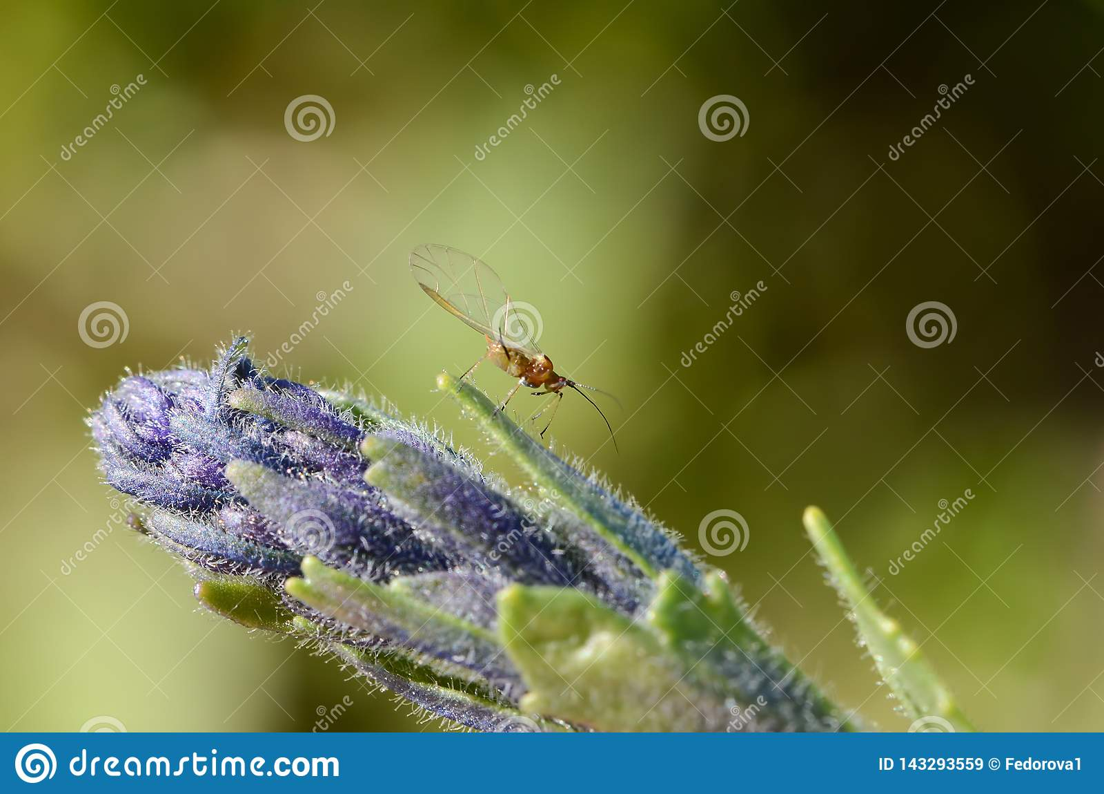 Un pequeño insecto con alas con los zarcillos largos en una inflorescencia grande de un flowe púrpura