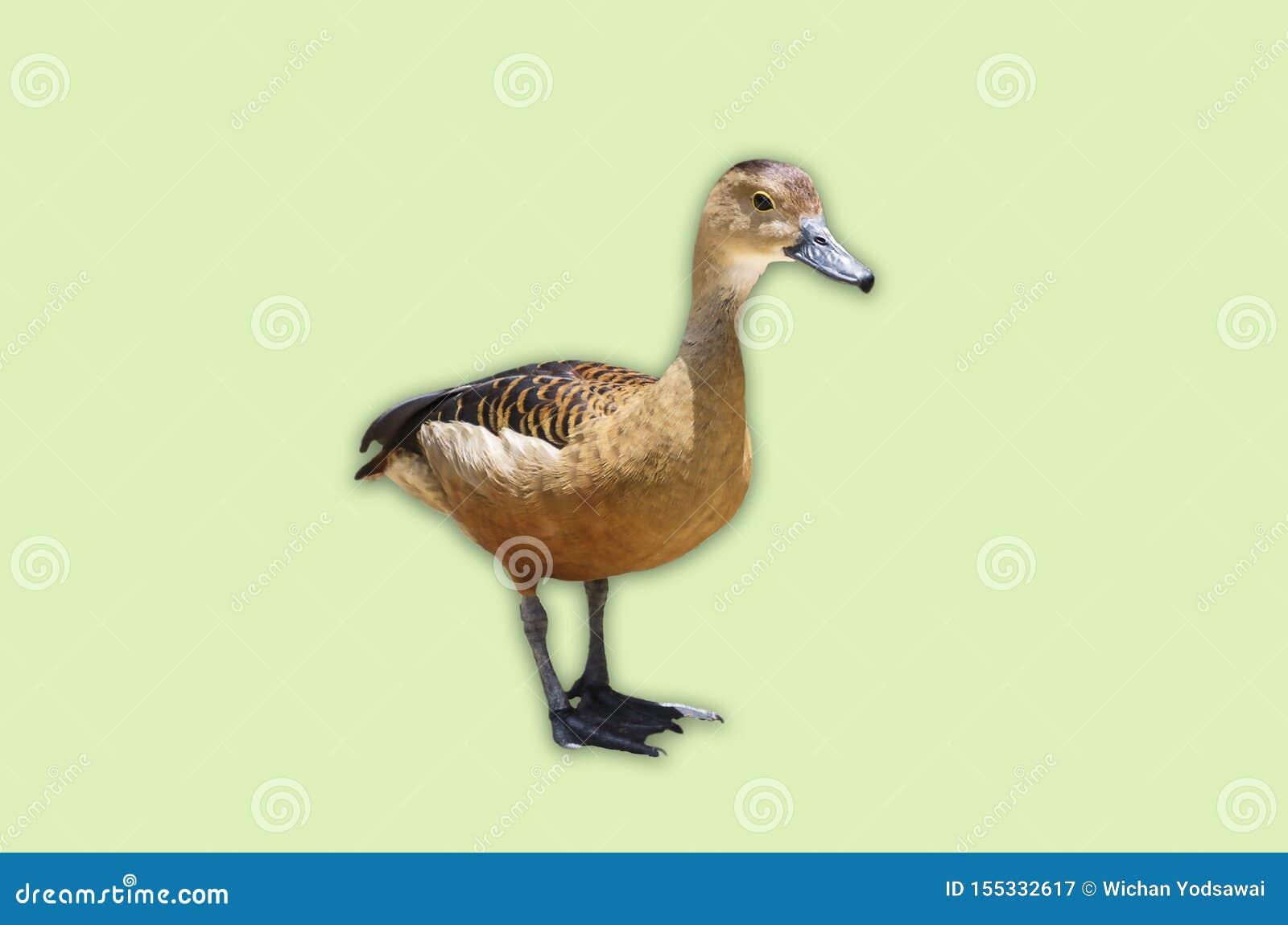 Un pequeño pato del pato silvestre salvaje aislado en fondo verde suave