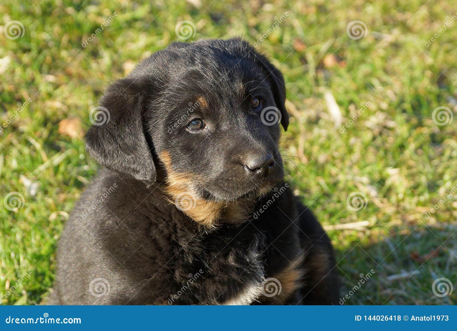 Un pequeño perrito marrón negro se está sentando en la hierba verde en el parque