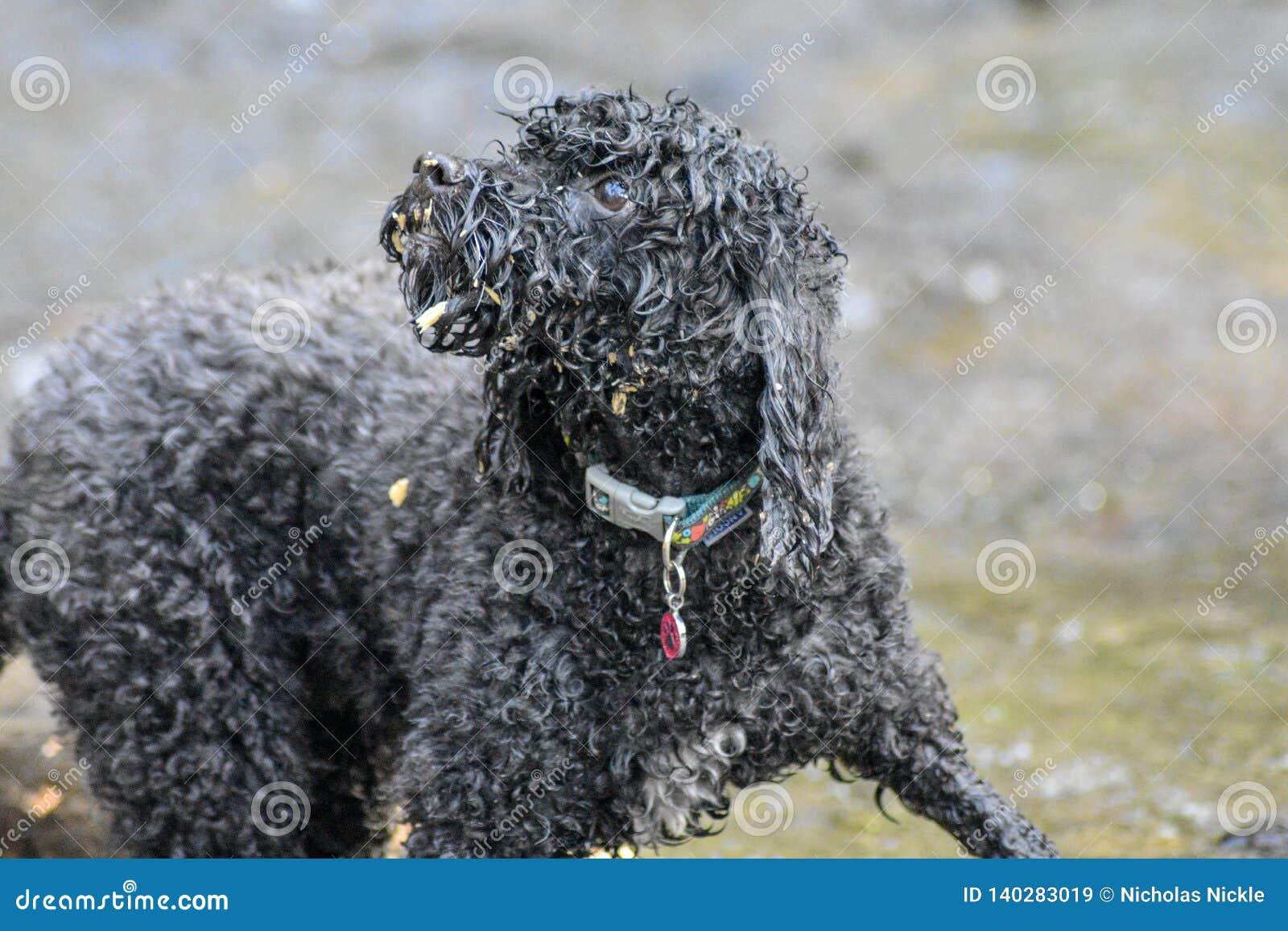 Un pequeño perro del cokerpoo que se divierte que mastica la madera y que nada