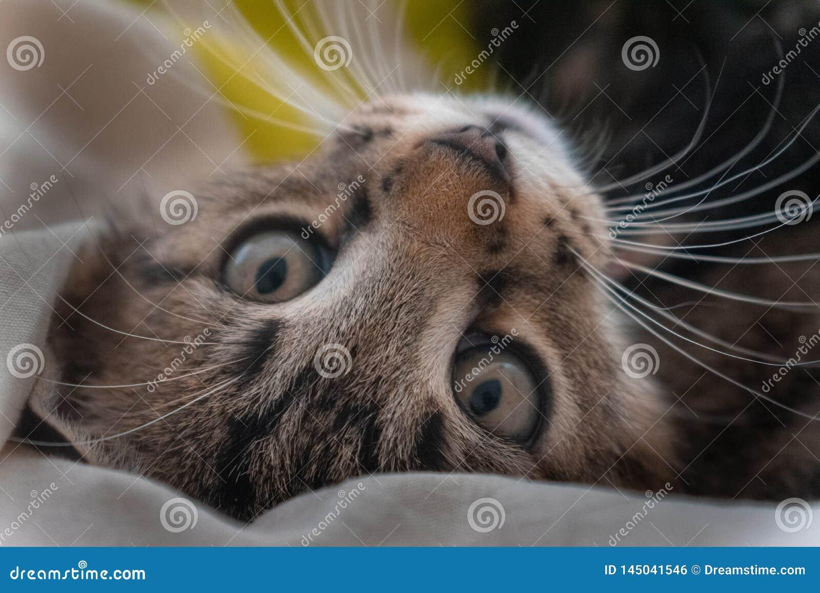 Un peque?o gatito est? mirando fijamente la c?mara con miradas dulces