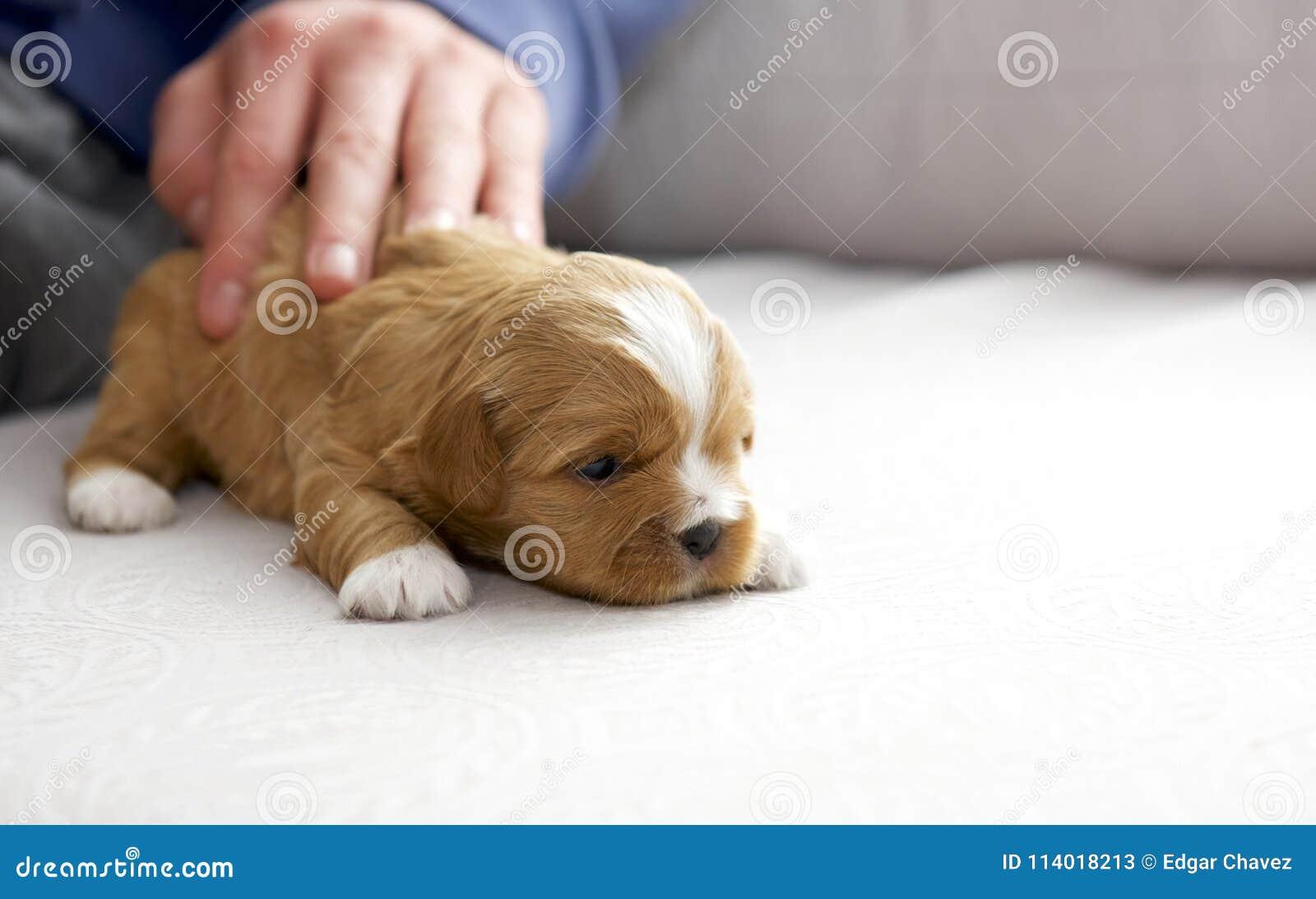 Un perrito minúsculo muy pequeño colocado en una estera por la luz de la ventana