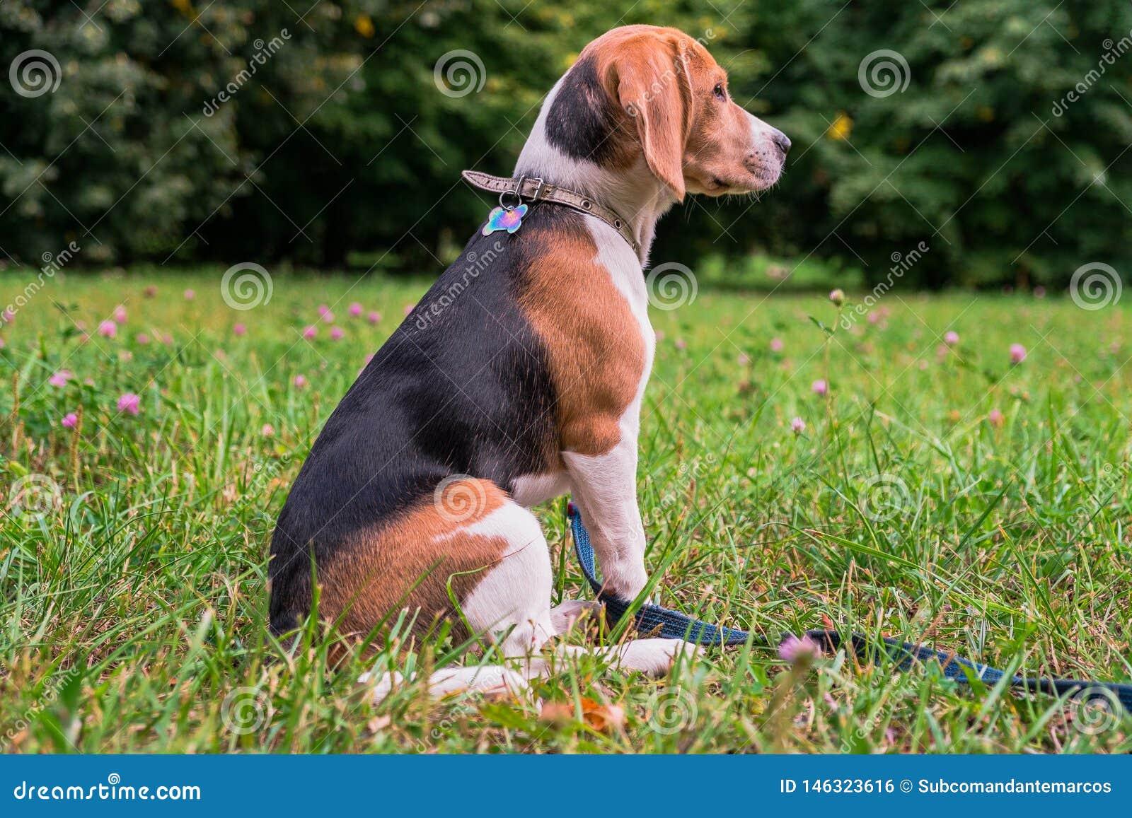 Un perrito pensativo del beagle con un correo azul en un paseo en un parque de la ciudad Retrato de un perrito agradable