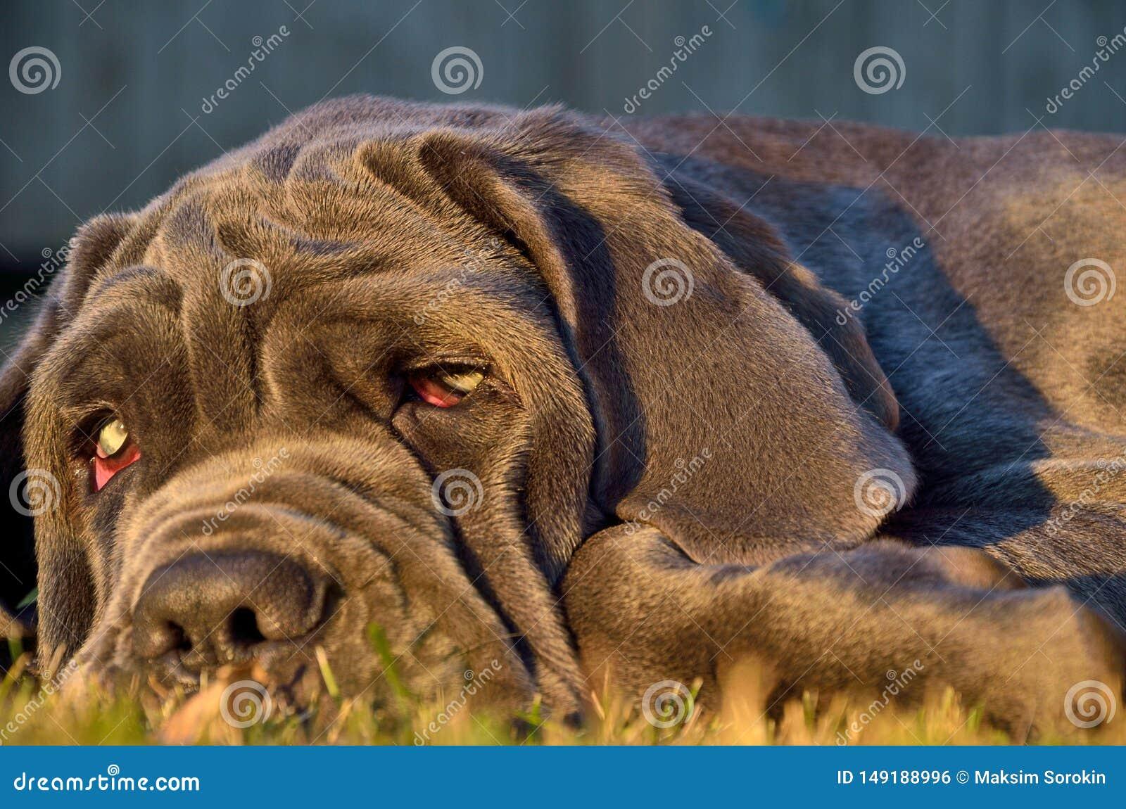 Un perro con los buenos ojos miente en la hierba verde
