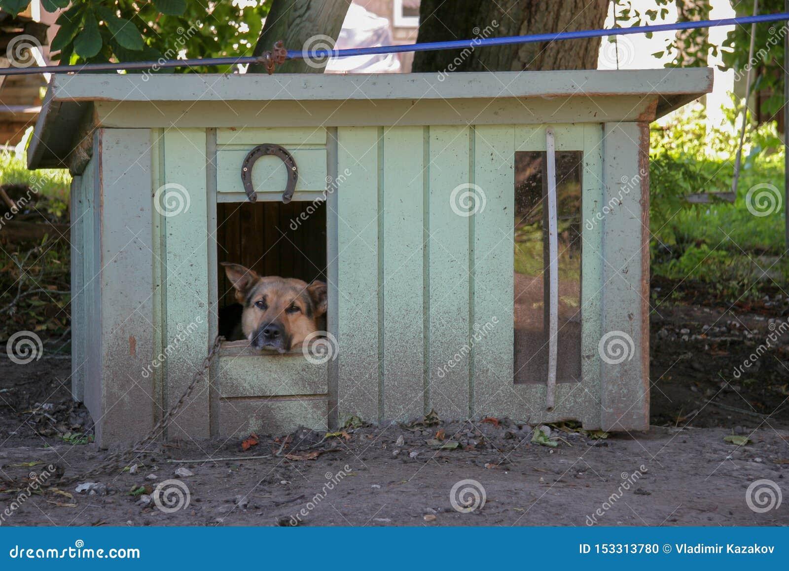 Un perro de pastor triste se sienta en una cabina en una cadena y miradas en la cámara Primer