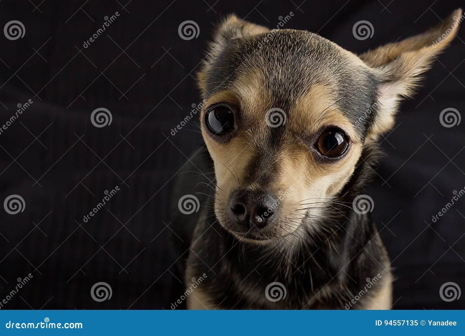 Un perro del terrier de juguete