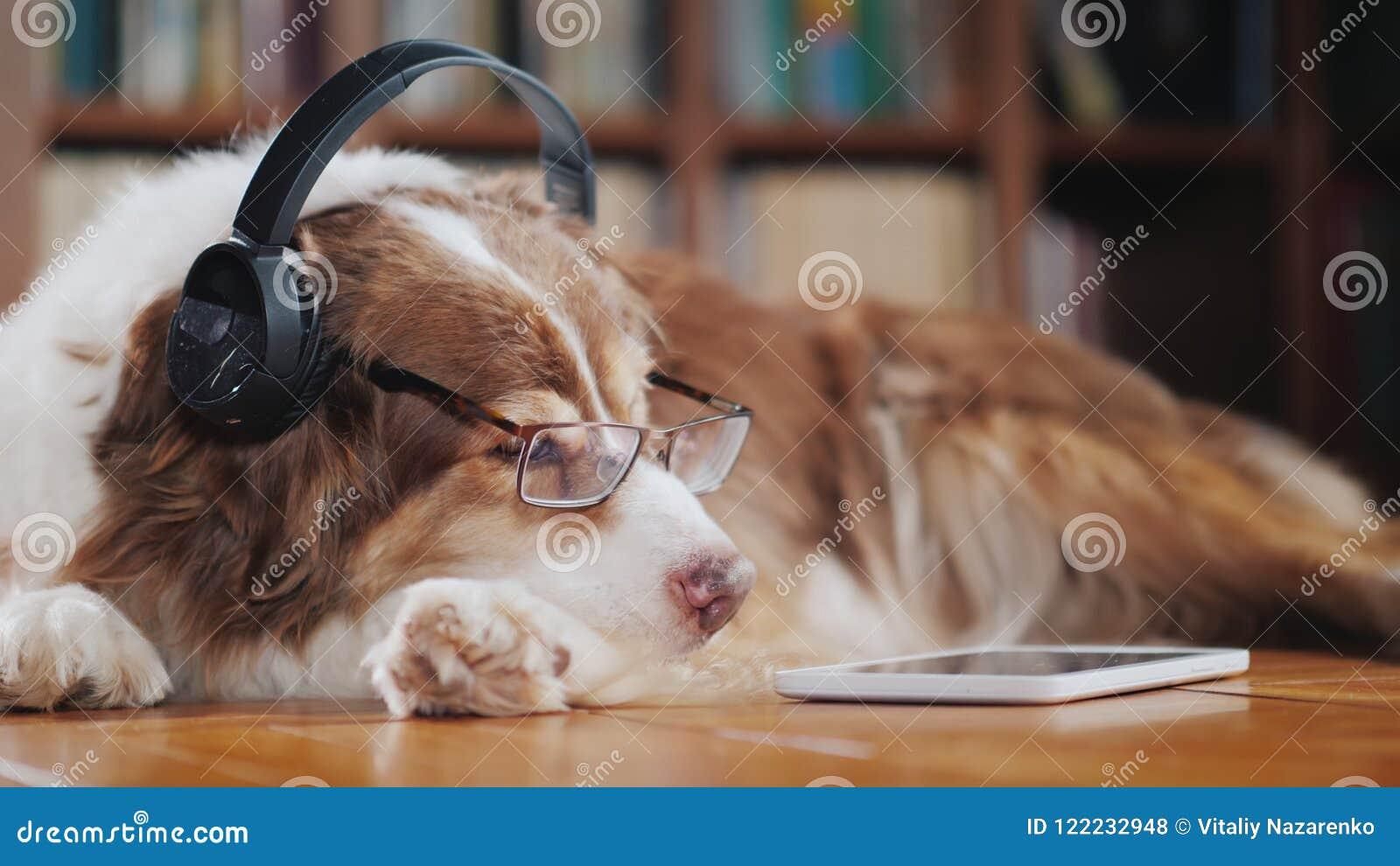 Un perro divertido en los auriculares, mentiras en el piso cerca de la tableta Dispositivos y animales