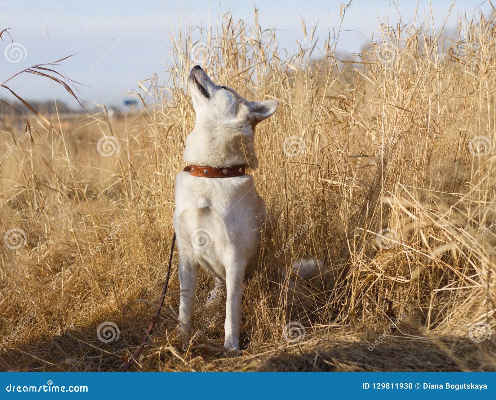 Un perro japonés curioso joven elegante hermoso de Akita Inu en un cuello de cuero huele el aire entre la hierba secada en th