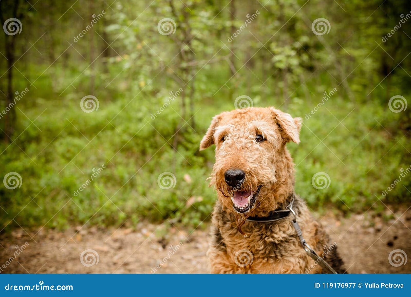 Un perro marrón negro de Airedale que se sienta Terrier aislado en fondo del bosque de la naturaleza Una fotografía hermosa del r