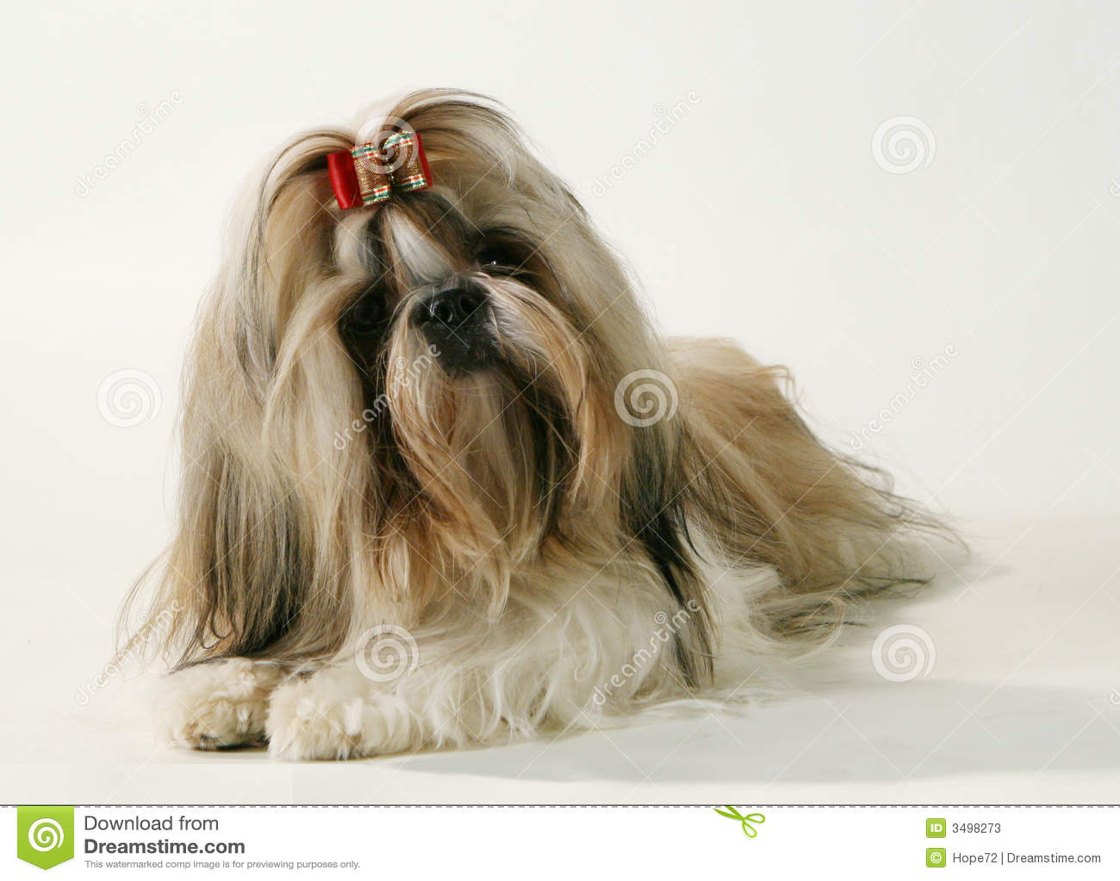 Un perro pedigrí