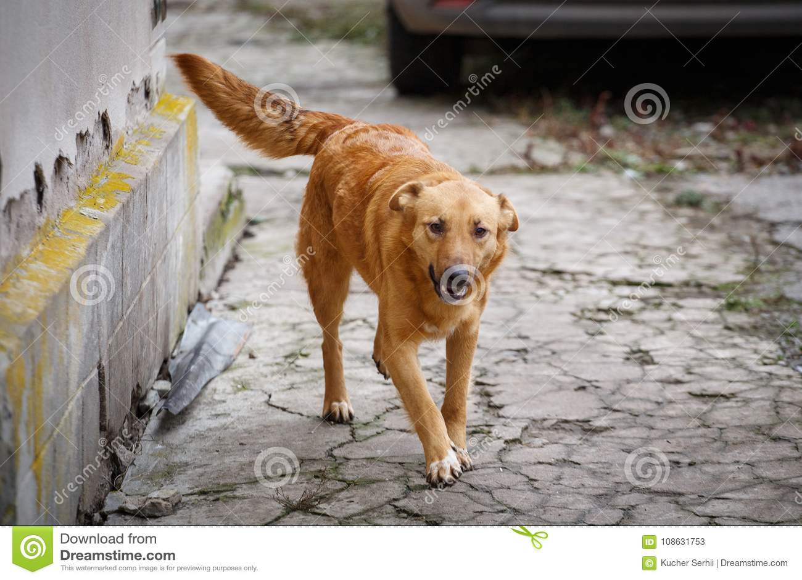 Un perro perdido que camina a lo largo de la calle en el pueblo Outdor sin hogar del perro