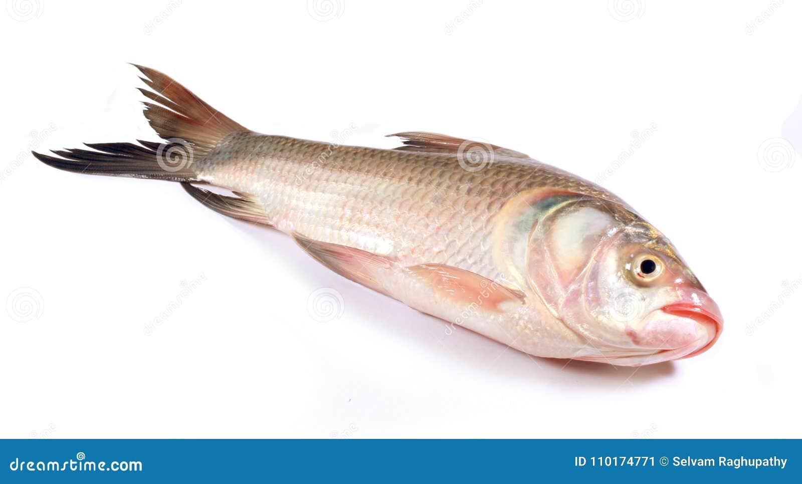 Un pescado de la carpa en un fondo blanco