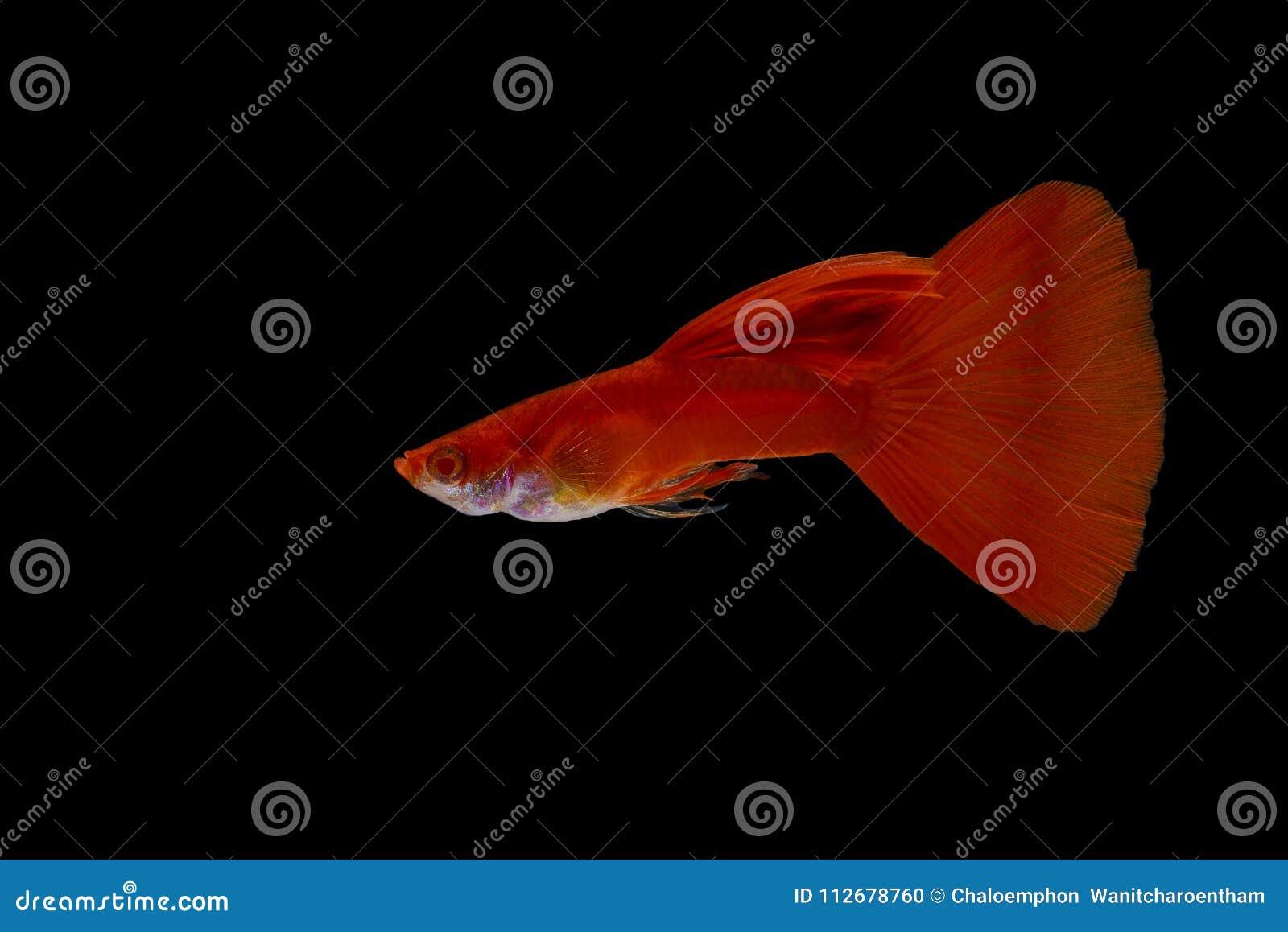 Un pesce del guppy con un colore rosso luminoso su un isole nero del fondo
