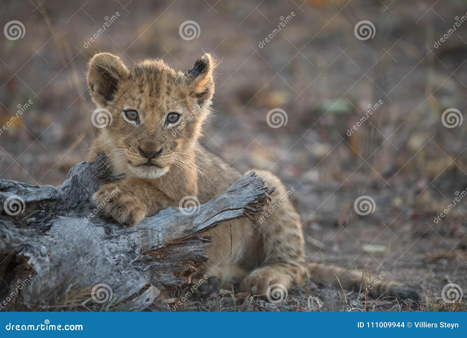 Un petit animal de lion mignon et minuscule