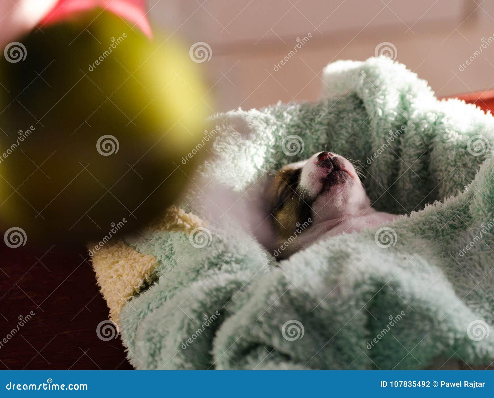 Un petit chiot, Jack Russell Terrier, a ouvert ses yeux pour la première fois et voit le monde sur les yeux Le chien se trouve su