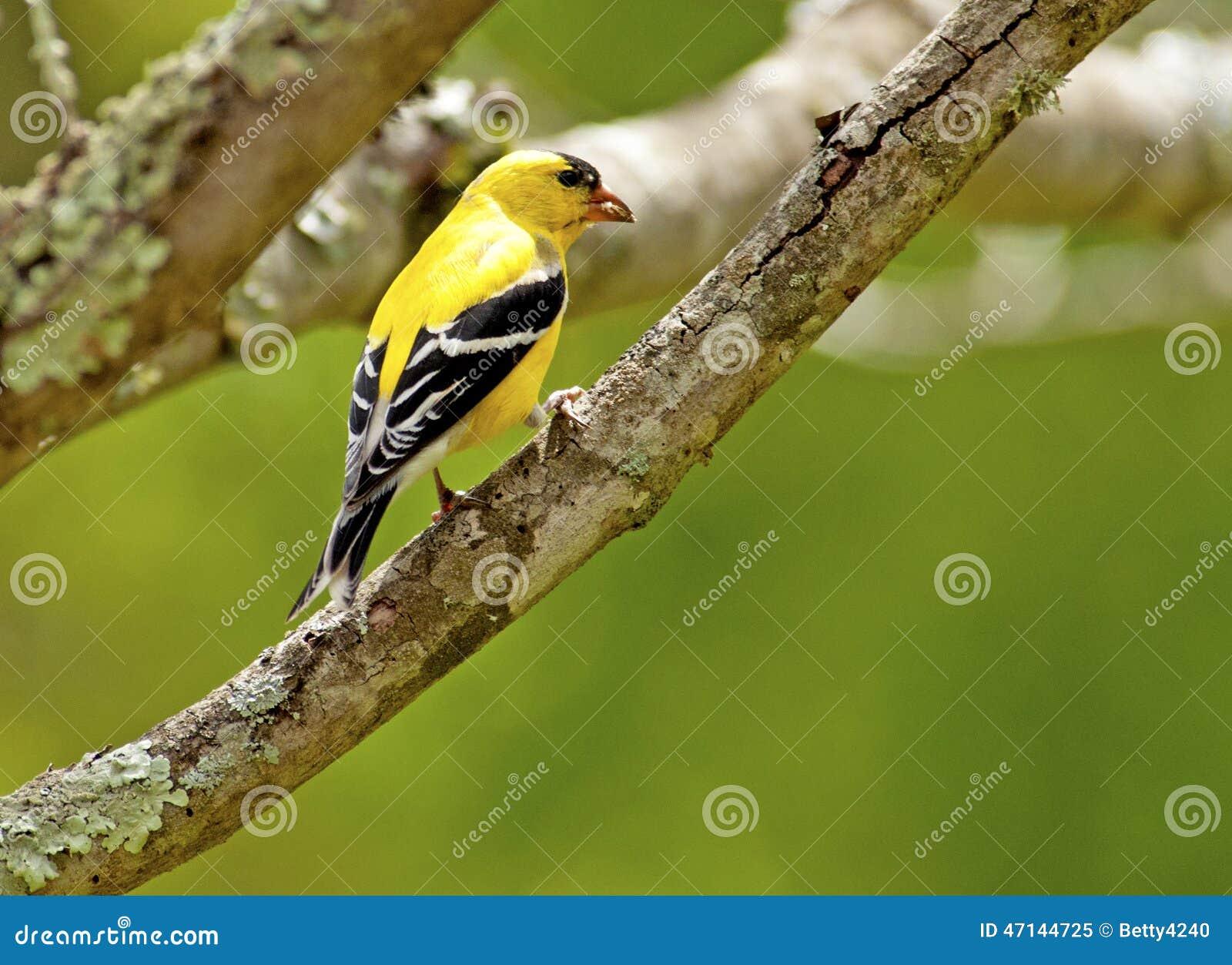 un petit oiseau jaune simple se reposant sur une branche photo stock image 47144725. Black Bedroom Furniture Sets. Home Design Ideas
