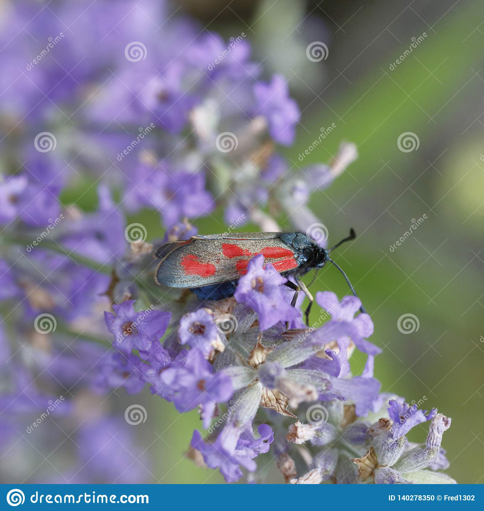 Un petit papillon noir et rouge, carniolica de Zygaena, sur les fleurs de la lavande
