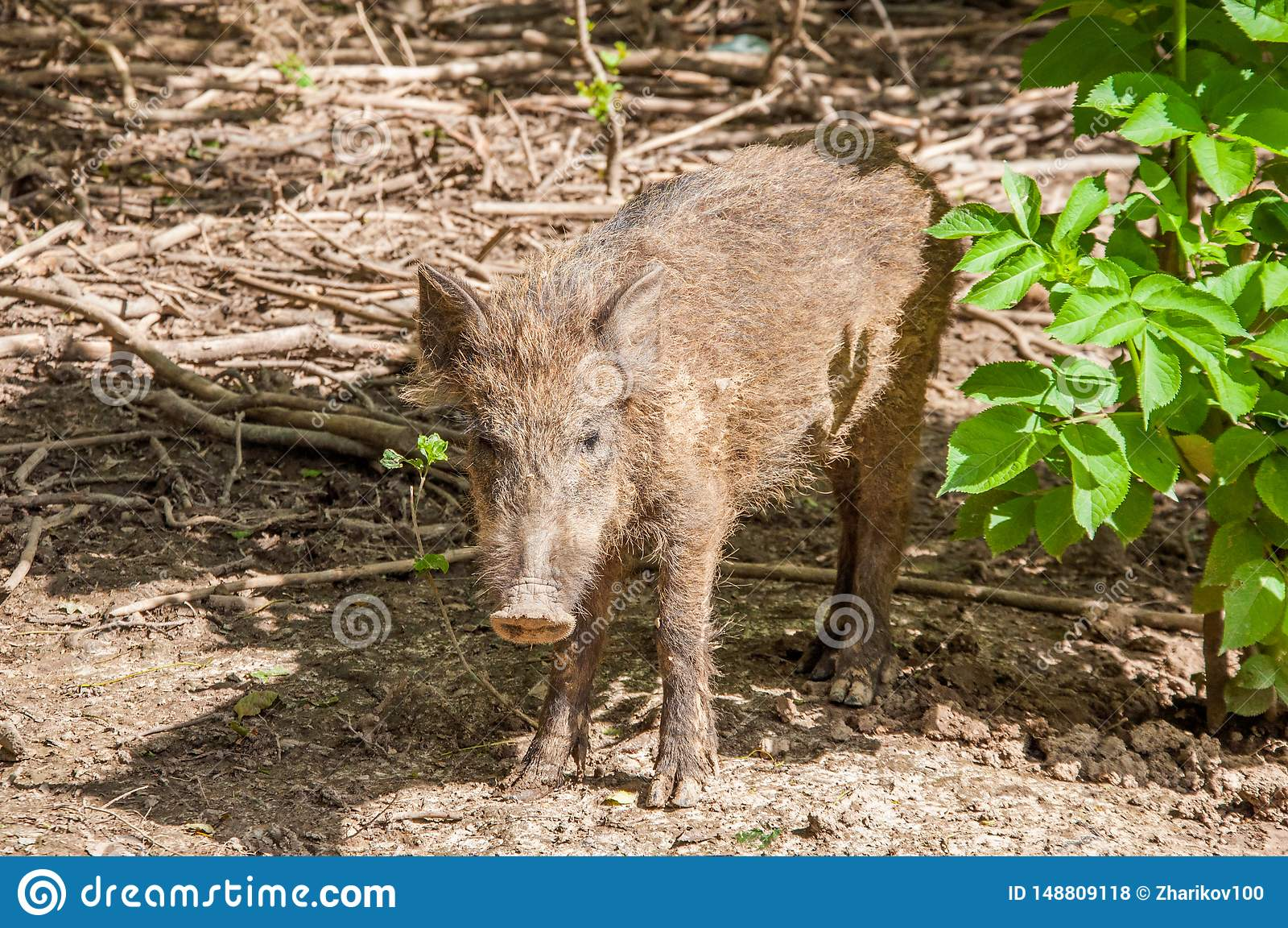Un petit porc sauvage dans la forêt sale