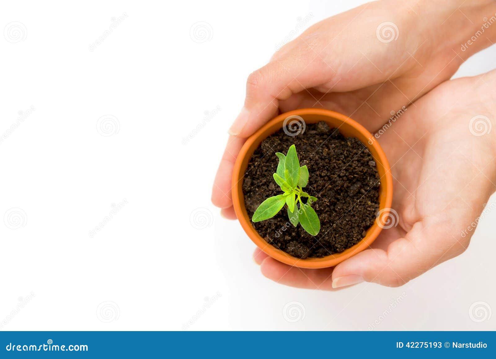 un petit pot de fleur et une plante verte image stock image du sant mains 42275193. Black Bedroom Furniture Sets. Home Design Ideas